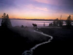 Elk at Sunrise, Yellowstone, Wyoming