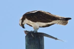Osprey with Lunch 2, Key West (Standard)