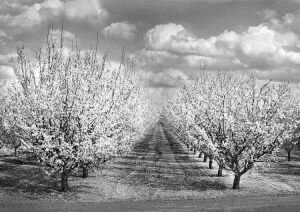 Almond Trees in Bloom, California